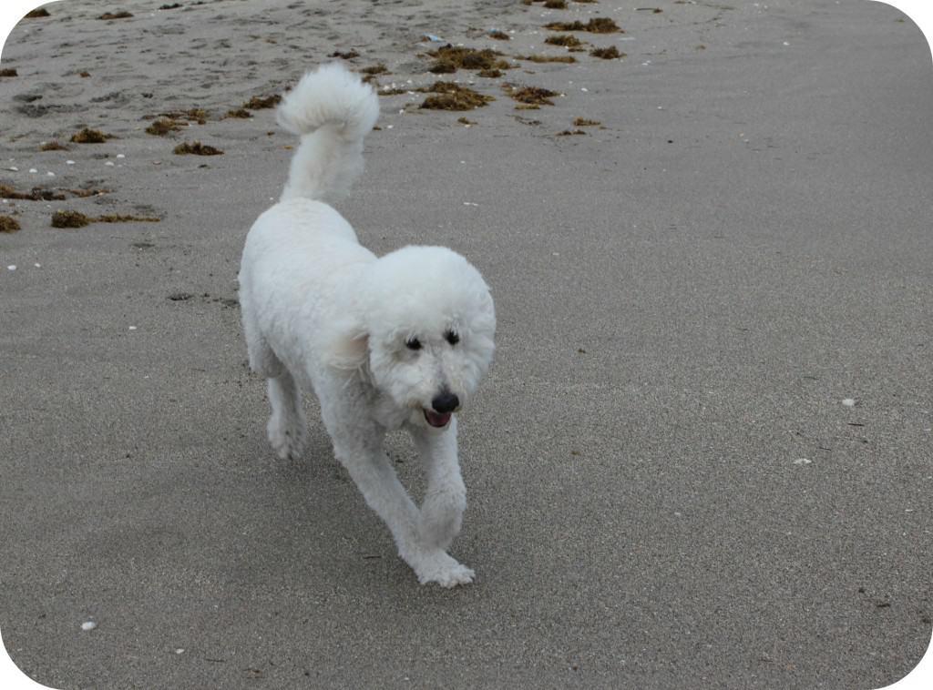 beachdog3