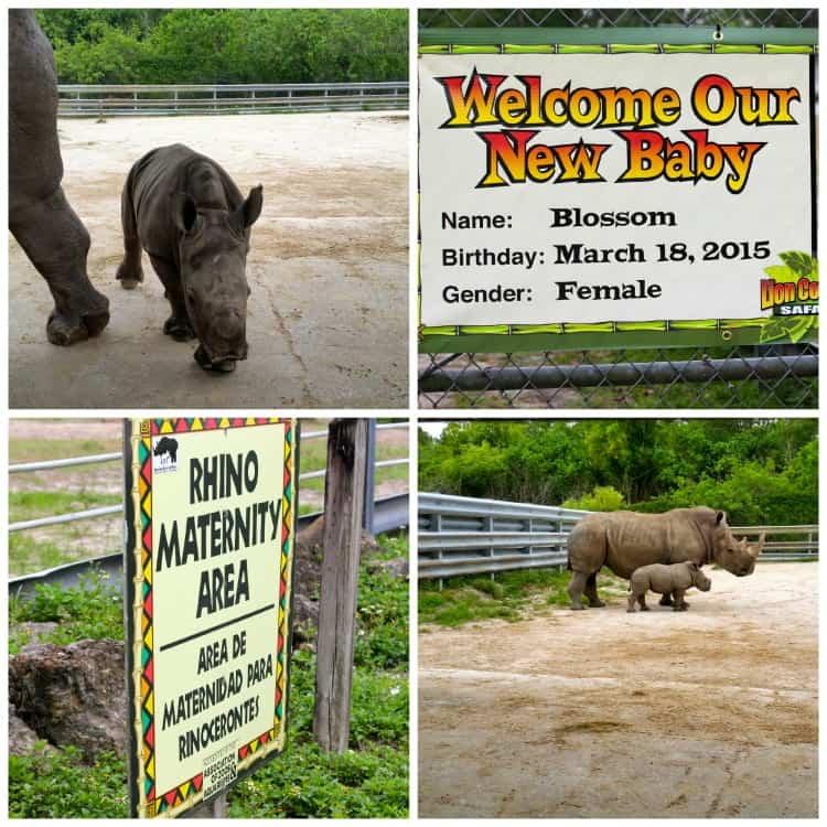 Blossom the Rhino Collage Lion Country Safari