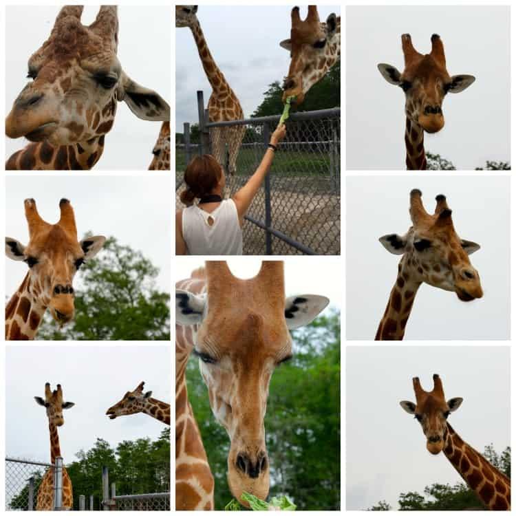 Giraffe Collage Lion Country Safari