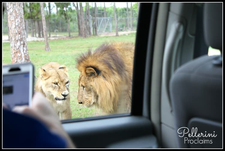 Perspective Lion Country Safari