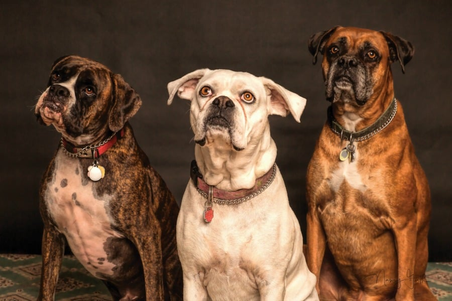 pet hurricane preparedness boxers dogs