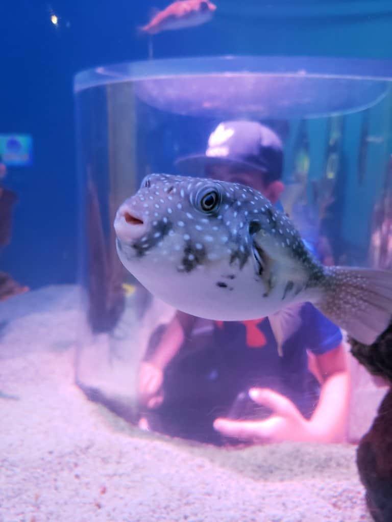 Ripley's Aquarium Gatlinburg Puffer Fish