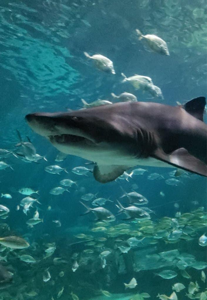 Ripley's Aquarium Gatlinburg Shark (1)