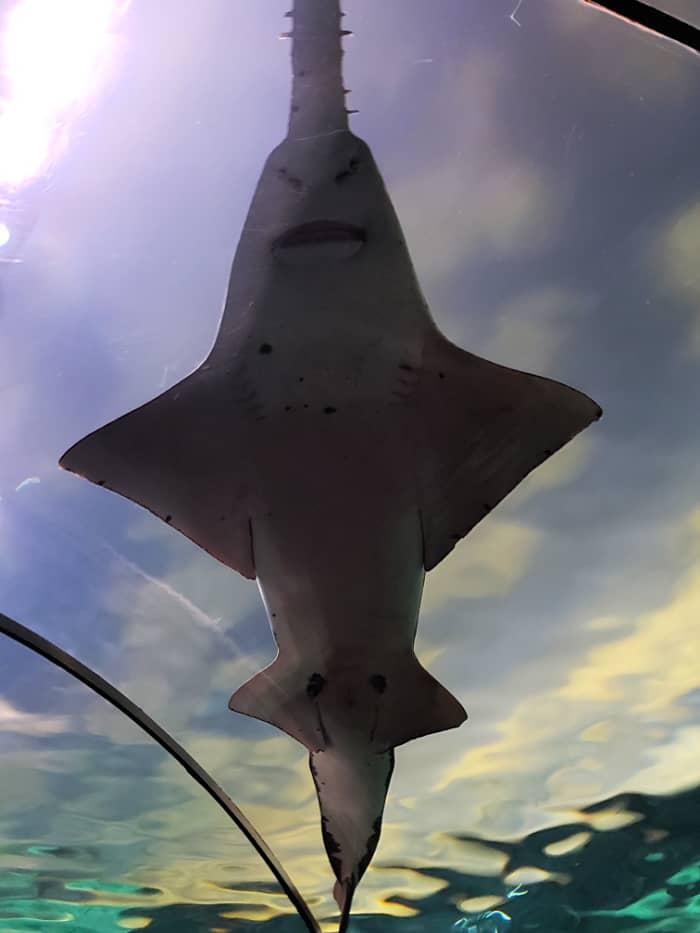 Ripley's Aquarium Gatlinburg Shark