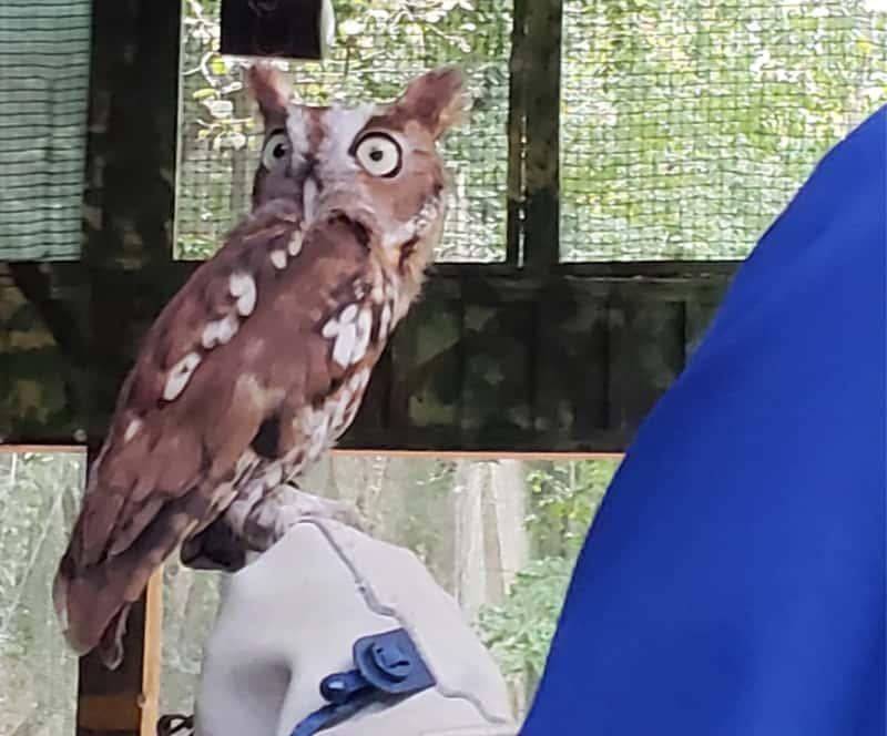 Dollywood Theme Park Screech Owl